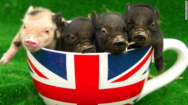 Sí, ahora los cerdos miniatura tendrán su propia cafetería