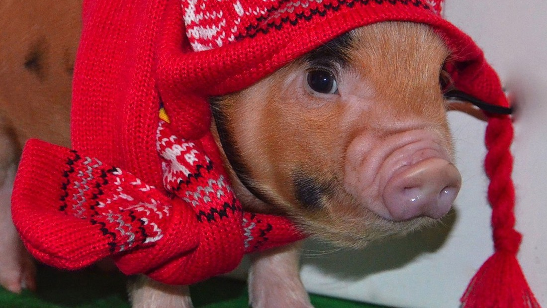 Yes Now There S A Micro Pig Cafe Cnn Com