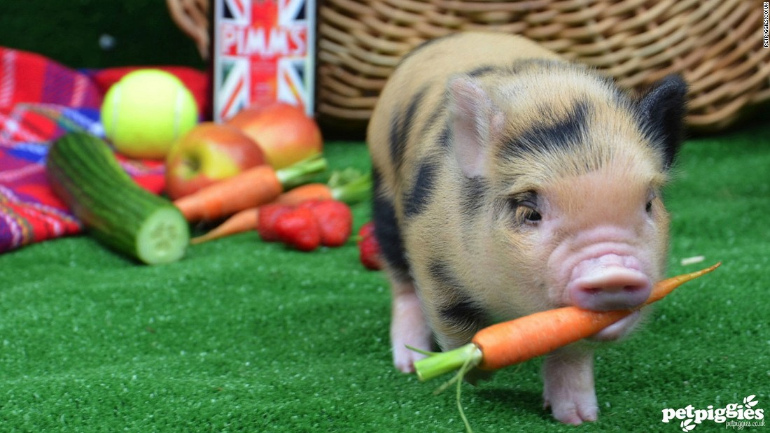special permission is needed to own a pet pig in some countries in