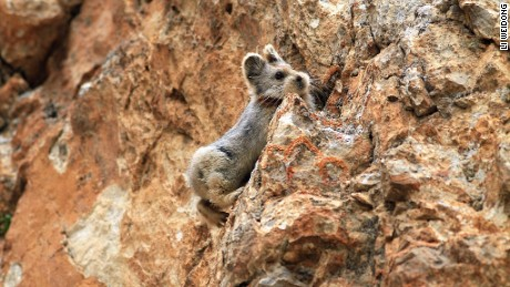 The Ili pika photographed by Li Weidong in July 2014.