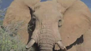African elephants on verge of extinction