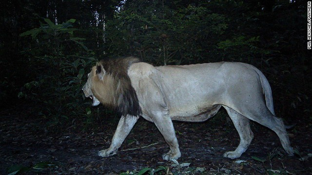 La historia del león que viajó 200 kilómetros por amor
