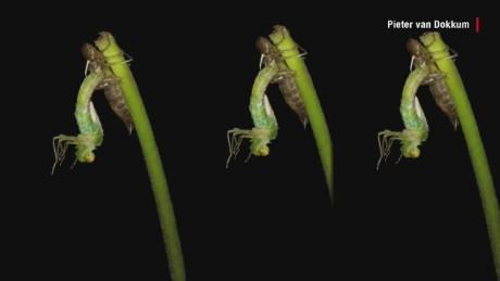 dragonfly metamorphosis timelapse orig_00005028.jpg