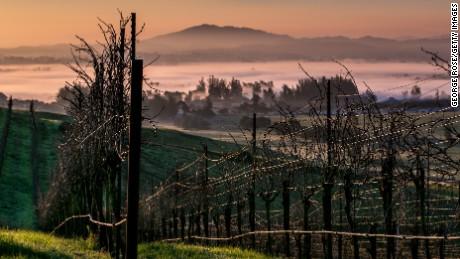 A rolling hillside of pinot noir vineyards near Cotati, California.