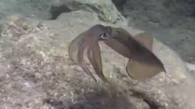 Los calamares podrían hacer invisibles a los soldados