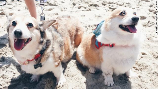 500 perros corgis se toman la costa de California