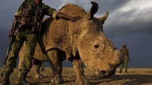 With 1 male left worldwide, northern white rhinos under guard 24 hours