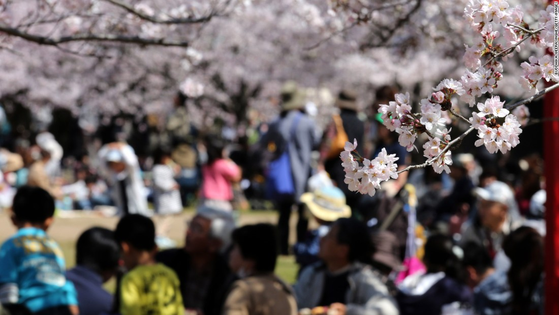 APRIL 2 - HIMEJI, JAPAN: Tourists take part in 'Hanami' or flower-viewing parties under cherry blossom trees in full bloom in the grounds of Himeji Castle. According to tradition during the Hanami season, people gather wherever cherry blossom trees are blooming and enjoy food and drinks often well into the night.