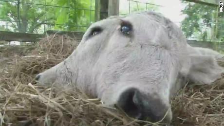 pkg two-headed calf born in Florida_00001821.jpg