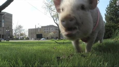 pkg pig runs for mayor flint michigan_00002102