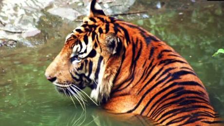 pkg orig rare tiger encounter WWF_00004108