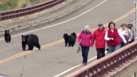 Bears chase tourists at Yellowstone