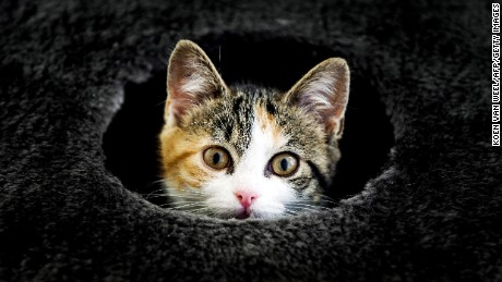 A cat peeks out a hole at the Stichts Asyl for Animals in Utrecht on July 24, 2013.