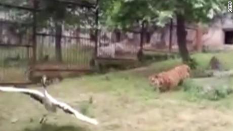 crane fights off tigers China orig_00003213