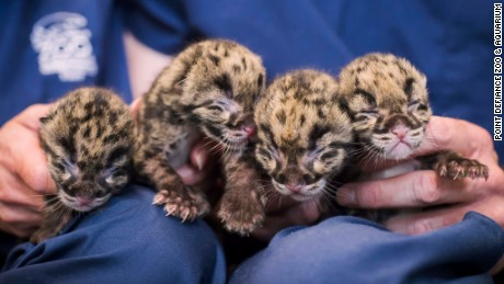 Four Clouded Leopard Cubs were born in May, 2015, at the Point Defiance Zoo & Aquarium in Tacoma, Washington. The smallest of the cubs weighs just 11.11 ounces; the largest, 12.41. That's about the same weight as a box of corn flakes. This photograph was released by the zoo on Tuesday, May 20, 2015.