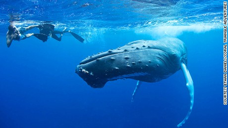 Best-snorkeling--silver-bank-humpback-whale-c.-Ethan-Daniels-11