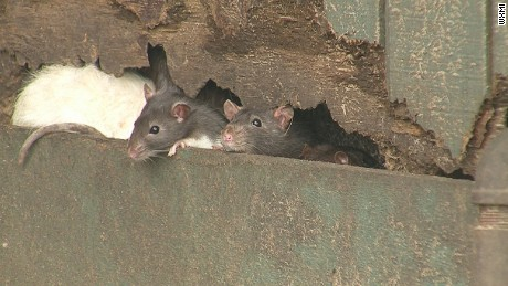 Home infested with 1000 rats