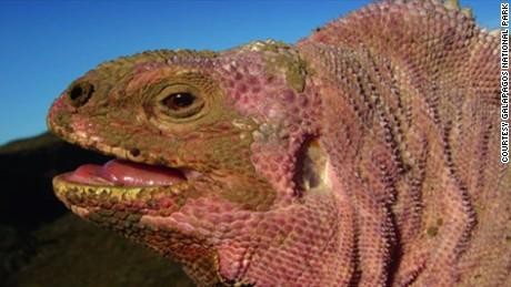 galapagos volcano pink iguana ct hugo arnal intv_00002130.jpg
