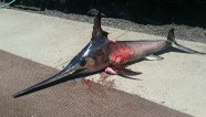 Swordfish kills fisherman who was trying to catch it