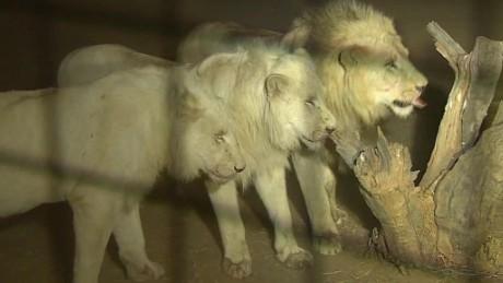 south africa lion park death magnay lklv_00004005.jpg