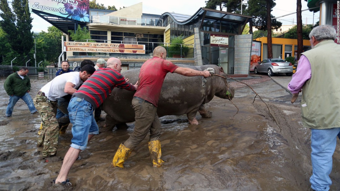 Local residents push a hippopotamus along the street. Some animals have been re-captured and others killed, according to the news agency, Civil.ge.