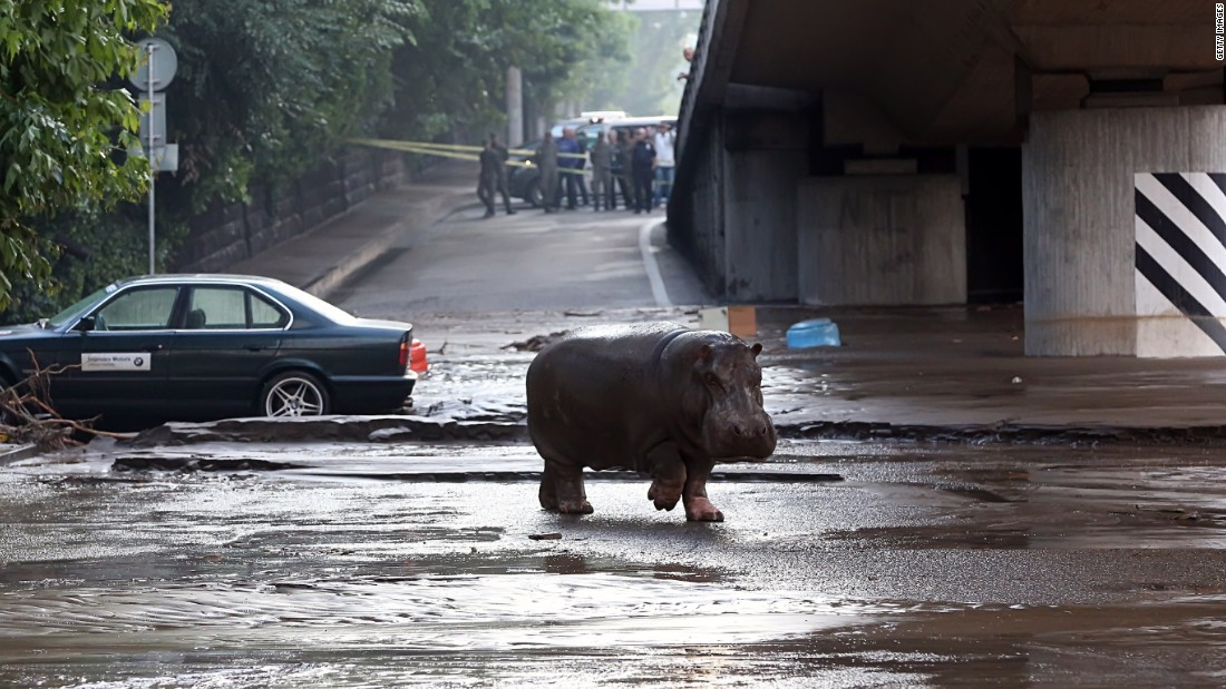 Officials are still searching for escaped animals. Georgia's Prime Minister, Irakli Garibashvili, asked residents to stay home while the creatures are rounded up.