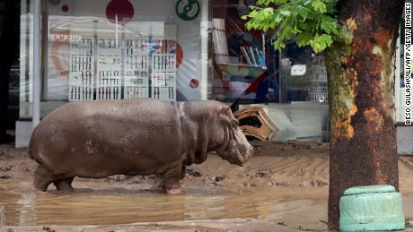 A hippopotamus walks along a flooded street in Tbilisi on June 14, 2015. Tigers, lions, jaguars, bears and wolves escaped on June 14 from flooded zoo enclosures in the Georgian capital Tbilisi, the mayor#39;s office said. Some of the animals were captured by police while others were shot dead, the mayor#39;s office told local Rustavi 2 television. At least eight people have drowned and several others are missing in the Georgian capital Tbilisi in serious flooding.