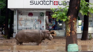 A hippopotamus walks along a flooded street in Tbilisi, Georgia, on June 14, 2015. The flooding also spread to the city's zoo, causing wolves, bears, big cats and a hippopotamus to escape and roam parts of the city. <br />