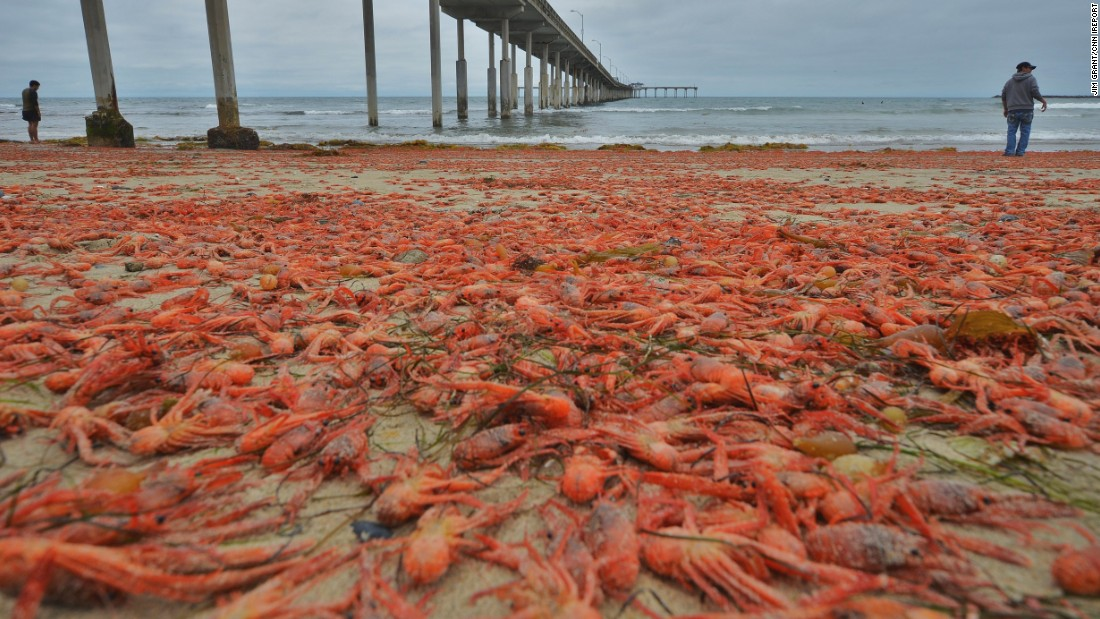 Red tuna crabs wash up on san diego beaches for Tides for fishing san diego