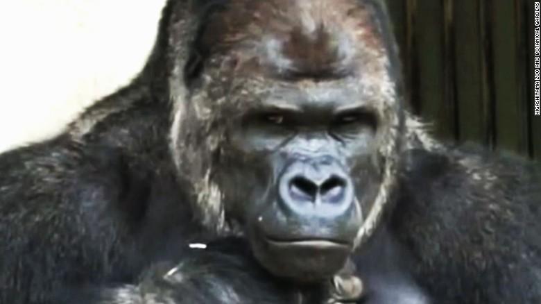 Women flock to 'handsome' gorilla