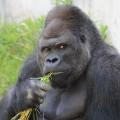 japan gorilla shabani 1