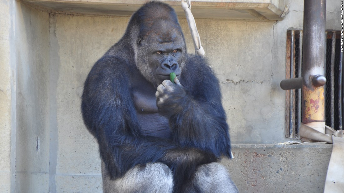Surprisingly handsome male gorilla excites women - CNN.com