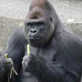 japan gorilla shabani 6