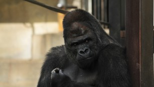 Japanese women go ape over surprisingly handsome gorilla