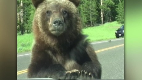 grizzly bear encounter ktvq_00000227