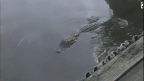 An alligator lurks in the bayou off Burkart's Marina