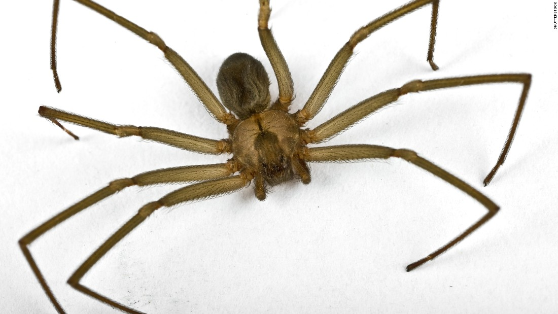 A brown recluse's venom can cause ulcers and rotting skin, wounds usually heal with proper care and cleaning.