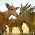 Serengeti selfie antelope