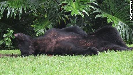 Bear falls asleep after eating 20 lbs of dog food