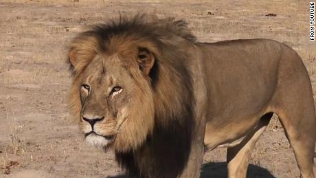 Zimbabwe, due arresti per l'uccisione del leone Cecil. Telegraph: il cacciatore è un dentista americano 150727121814-cecil-the-lion-2-large-169