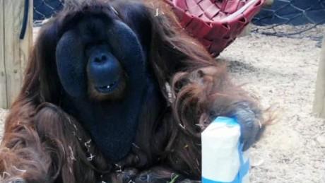 orangutan.kisses.pregnant.mothers.stomach.moos.dnt.erin_00001906