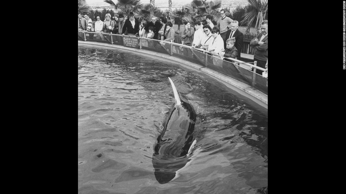 "SeaWorld's Shamu, the first orca to survive for more than a year in captivity, became a celebrated attraction at the San Diego park -- so much so that other orcas have been named Shamu. The orcas' life has not been without controversy; one named Tilikum killed a trainer in 2010, an event examined in <a href=""http://www.cnn.com/specials/us/cnn-films-blackfish/"">the CNN documentary ""Blackfish."" </a>"
