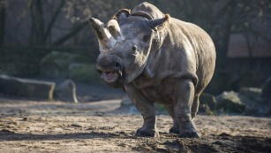 In this photo taken in December 2013, the white rhino Nabire walks around in her enclosure at the zoo in Dvur Kralove, Czech Republic. Nabire died of a ruptured cyst on Monday, July 27.