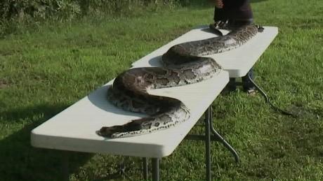 giant python found attacking animals in missouri_00013110.jpg