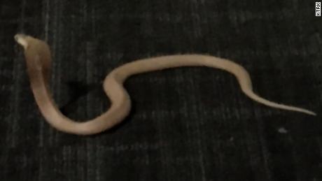 Deadly cobra loose in luxury apartment pkg_00002006
