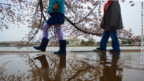 WASHINGTON, DC - APRIL 9: Children enjoy walking through a few rain puddles among the Tidal Basin cherry blossoms in Washington, DC on April 9, 2015. They are expected to hit peak bloom this weekend. (Photo by Linda Davidson / The Washington Post via Getty Images)