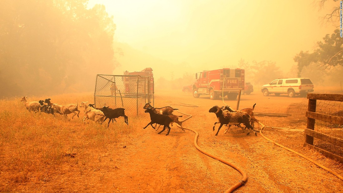As the Rocky Fire approaches, goats run from their pen after firefighters freed them on July 31.
