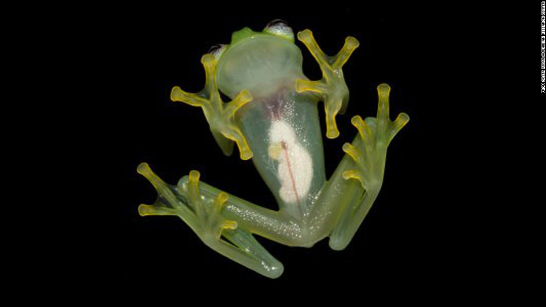 "The Costa Rican Amphibian Research Center announced <a href=""http://www.cnn.com/2015/04/21/living/feat-new-frog-looks-like-kermit/"">a newly discovered species of glassfrog</a>, Hyalinobatrachium dianae, from the Caribbean slopes of Costa Rica. The authors distinguished H. dianae from other glassfrogs due to its unique combination of morphological characteristics, its mating call, and genetic differences. The last time a new glassfrog was discovered in Costa Rica was in 1973."