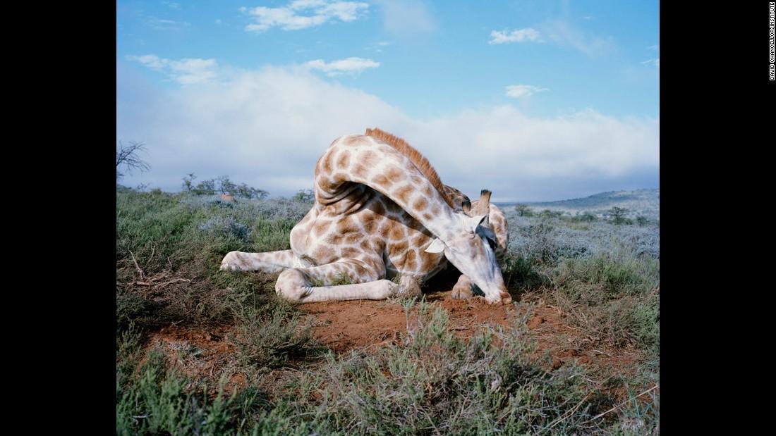 Fallen giraffe, South Africa.
