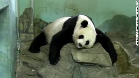 panda pregnancy watch moos pkg erin _00000912